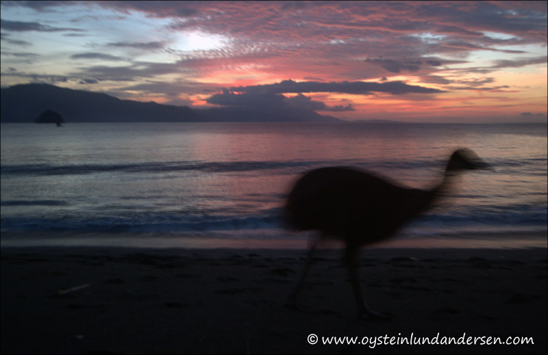 A cassowary bird at the beach. The bird was kept by locals who had caught it while it was still small, and raised it until it had reached a decent size before it ended its days on the food-table in 2005. (September 2004)