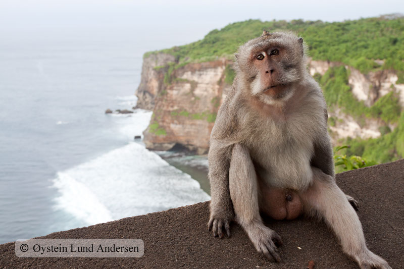 Macaque at Uluwatu temple