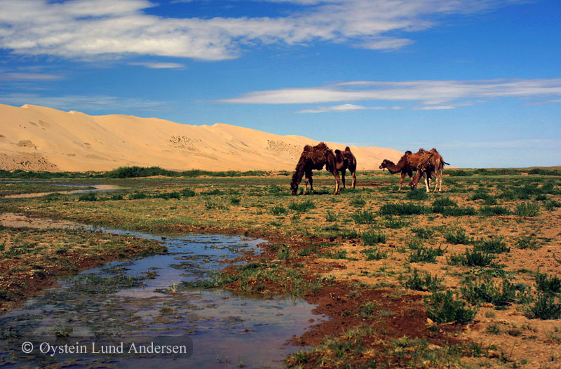 Camels in the Gobi.