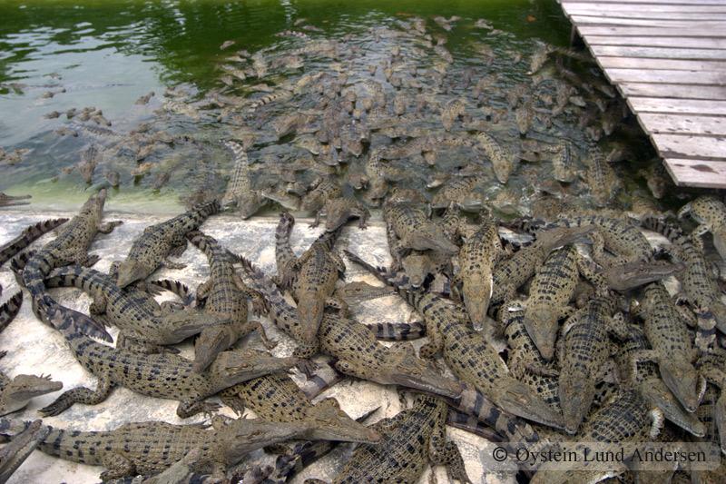 Croc. farm.
