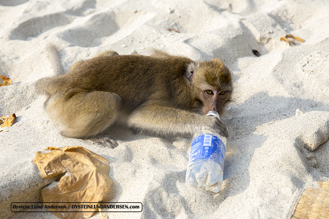 Macaque monkey that have succeeded in stealing my drink, and subsequently drinking it..