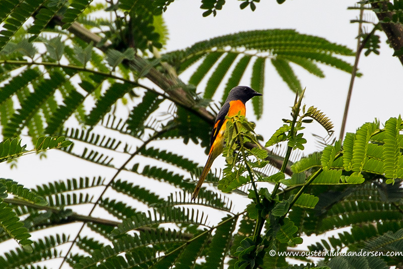 Orange-bellied Flowerpecker (Dicaeum trigonostigma) ?