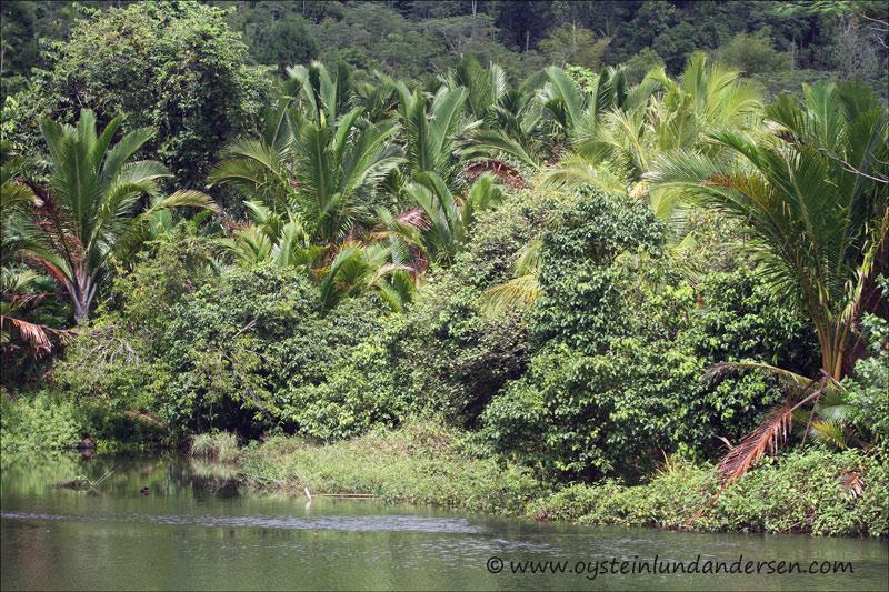 Sago palms in Amai. (14March 2012)