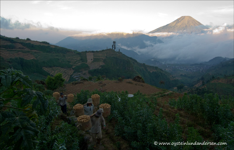 Farmers return in the afternoon with the potato harvest of the day, Sindoro in the background.
