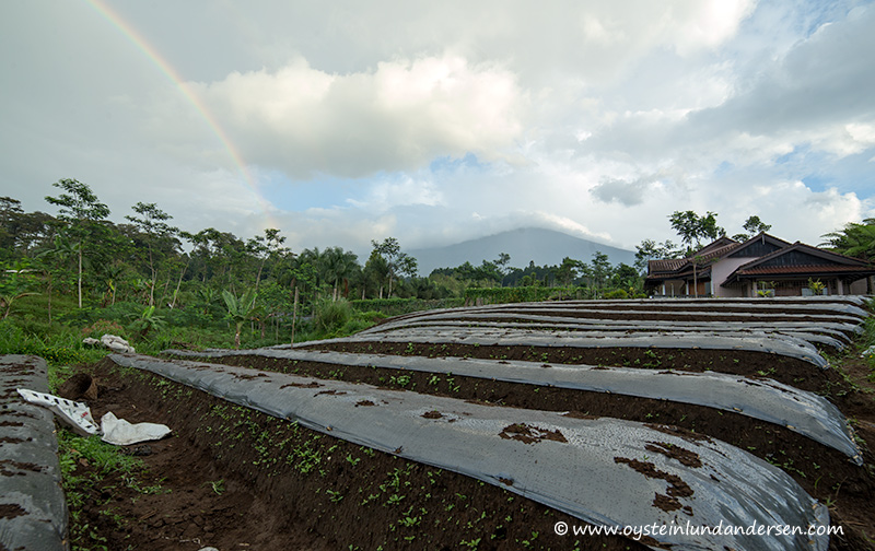 Slamet seen from a farmers field. (06:15 local time)